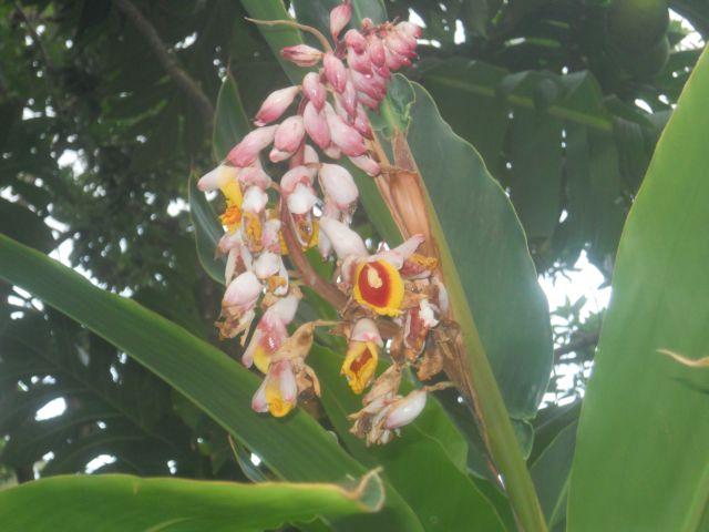 Fleurs d'Atoumo