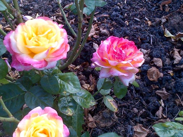 roses jaune-rose