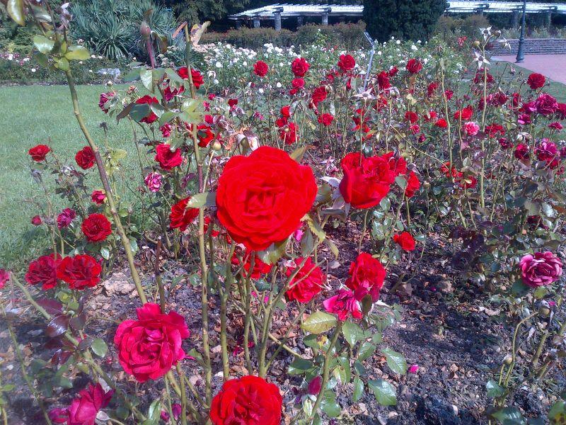 Roses rouge du Parc de la tête d'Or