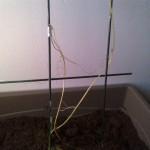 Mon petit plant de christophine : repose en paix