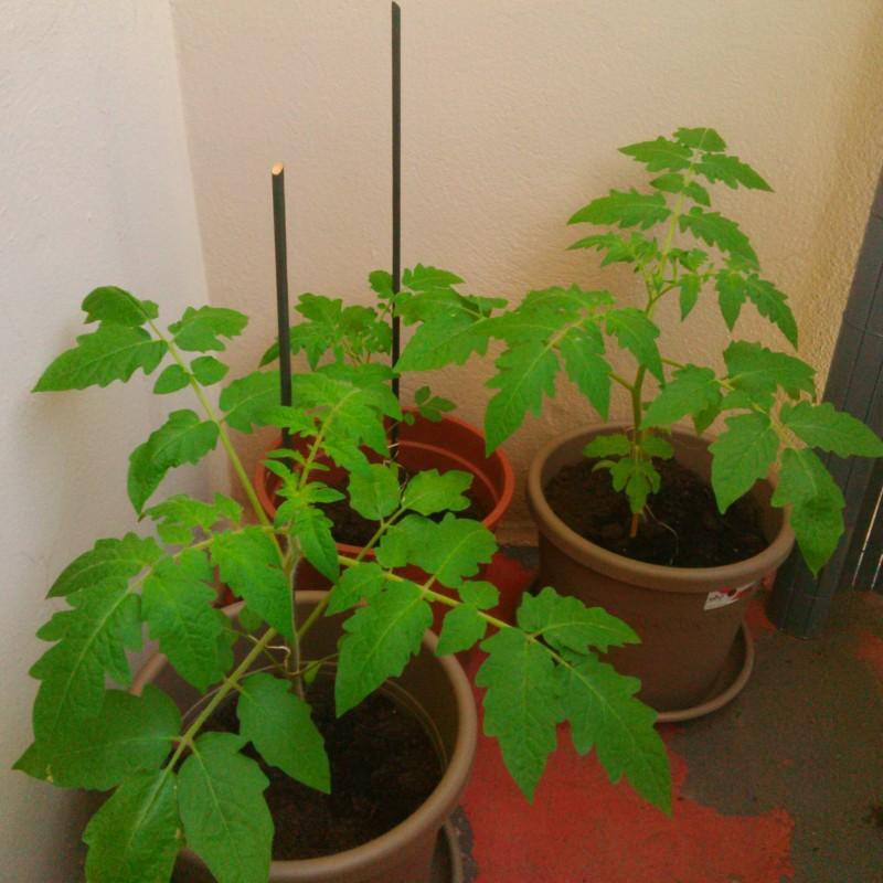 plants de tomates marmande dans les pots