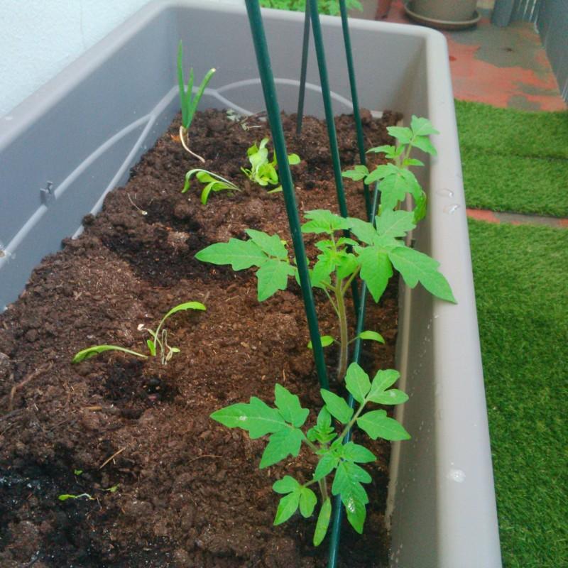 plants tomates dans jardinière
