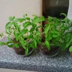 Des nouvelles de mes plants de laitues, tomates et oignons